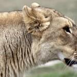 Lion profil