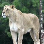 Lion standing
